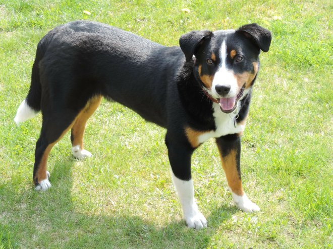 Steckbrief Appenzeller Sennenhund Alles Dog De