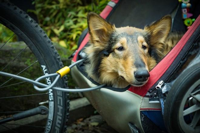 Schritt Für Schritt Hunde An Fahrradanhänger Gewöhnen Alles Dogde